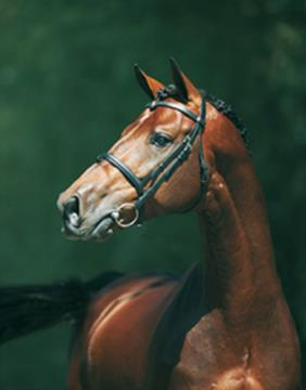 numero_uno__one_of_the_leading_stallions_in_the_world