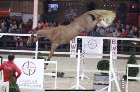 Rio VD Zwartbleshoeve Stallion Approval BWP